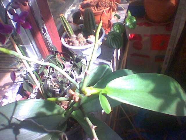 как появляется детка на орхидее фото